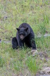 Black Bear Attraction