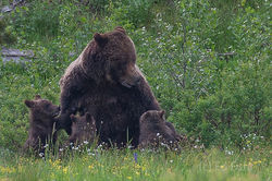 Grizzly 399 Gives The Staredown