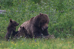Grizzly 399 Smackdown