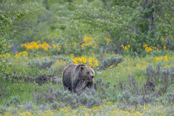 Grand Teton, photograph, image, 2017, grizzly, bear, blondie, cub