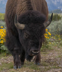 Bison Pause