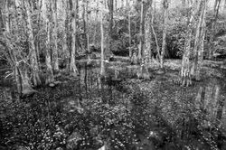 big cypress swamp, everglades, florida, fine art,