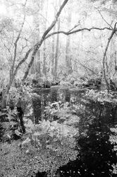 big cypress swamp, corkscrew swamp, florida, everglades, black and white,