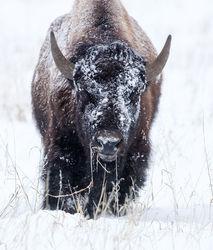 Bison Staredown