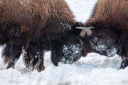 2015, grand teton, bison, winter, december 2015, photograph, image, Tetons