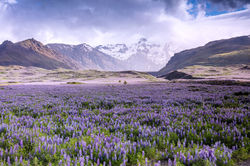 Lupines to Glaciers