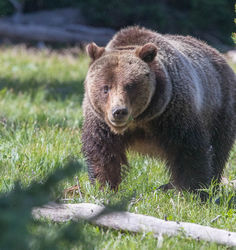 Grizzly 399 By a Log