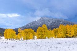 aspen, snow, autumn,