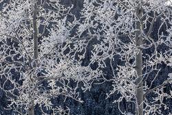 aspen, hoarfrost, tetons, winter, Grand Teton