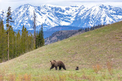 Felicia and Pepper, Tetons, Grand Teton, felicia, pepper, grizzly, bear, spring, cub