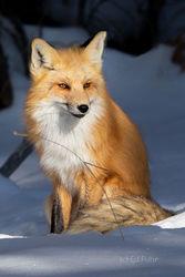 Fox, Tetons, Grand Teton, winter