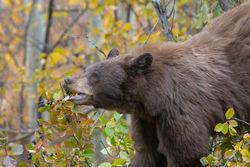 Bear Berry Feeding