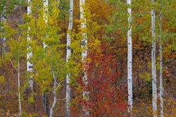 Maples and Aspens