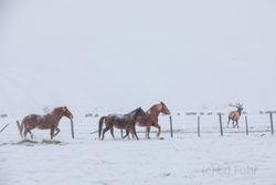 horse, winter, elk, Tetons, Grand Teton