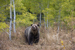 aspen, snow, autumn, grizzly, bear