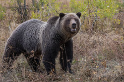 aspen, grizzly, bear, autumn,