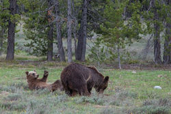 399, grizzly, becub, sprint, grand teton, photo, imagear 399, , 2018, Tetons