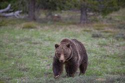 399, grizzly, bear, grand teton, photo, image, 2018, Tetons