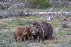 399, grizzly, bear, cub, grand teton, photo, image, 2018, Tetons
