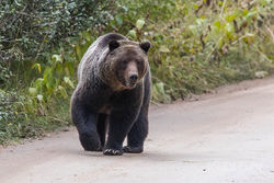 aspen, grizzly, male, autumn,