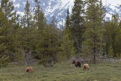 399, grizzly, bear, grand teton, photo, image, cub, 2018, Tetons
