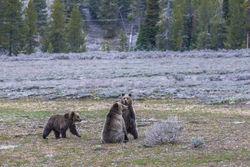 Blondie, grizzly, bear, cub, 2019, Tetons, Grand Teton