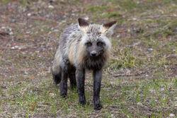 Fox, Tetons, Grand Teton