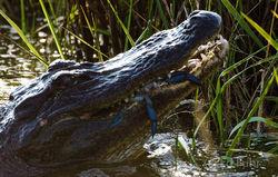 Alligator Breakfast