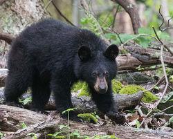 Subadult Black Bear Cub