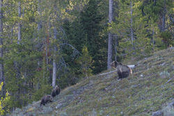 blondie, grizzly, bear, grand teton, photo, image, spring, 2018, Tetons
