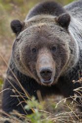 grizzly, male, autumn