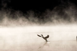 Cormorant Backlit