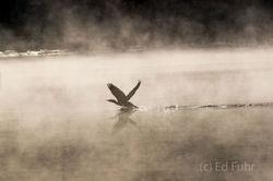 Cormorant in the Fog