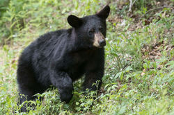 Black Bear Cub at Loft Mountain