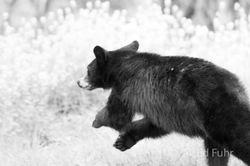 Black Bear Running
