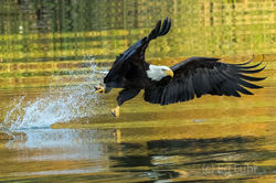 Bald Eagle Rising