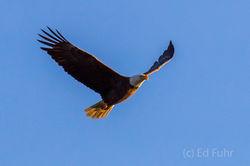 Morning Light on Bald Eagle