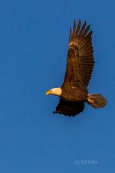 Golden Glow on Bald Eagle