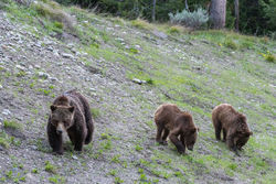 399, grizzly, bear, cub, grand teton, photo, image, spring, 2018, Tetons