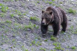 399, grizzly, bear, grand teton, photo, image, spring, 2018, Tetons