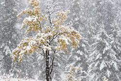 aspen, snow, autumn,