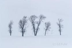 cottonwood, winter, Tetons, Grand Teton