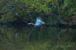 Blue Heron Flight