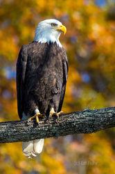 Bald Eagle, Autumn Portrait