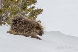 porcupine, snow, , Tetons, Grand Teton