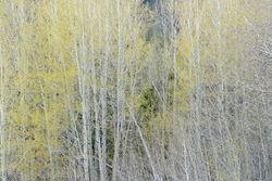 abstract, spring, trees, aspen, impression, Tetons, Grand Teton