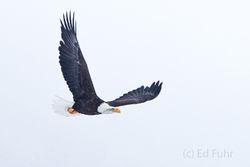 bald, eagle, winter, Tetons, Grand Teton