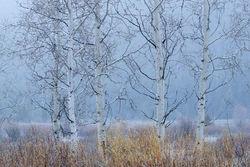 aspen, snow, spring, Tetons, Grand Teton