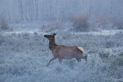 elk, snow, spring, Tetons, Grand Teton