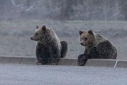 Blondie, Subadult, cubs, 2019, grizzly, bear, Tetons, Grand Teton